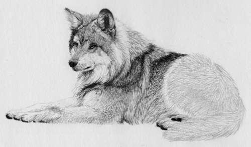Волк рисунок морда